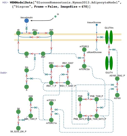 Glucose and insulin model