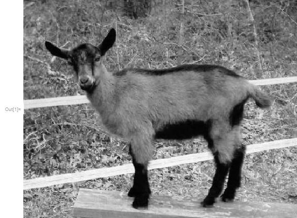 "goat = ImageTake[RemoveAlphaChannel[ColorConvert[Import[           ""https://s-media-cache-ak0.pinimg.com/originals/fa/60/ce/\      fa60ce323b5642a78abb1b1814fcd582.jpg""], ""Grayscale""]], {1, -30}]"