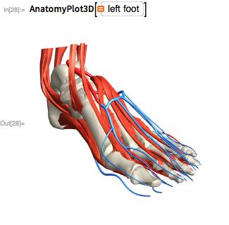 AnatomyPlot3D[left foot]