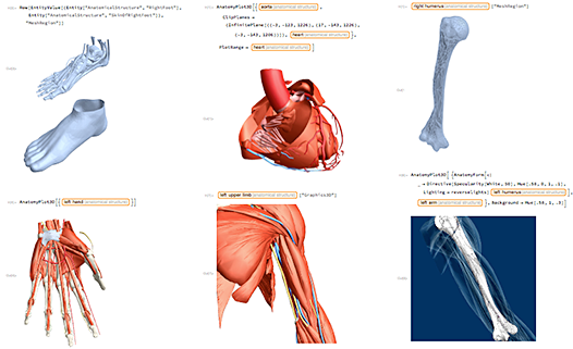 Built right in to Version 11: Detailed 3D models of all the significant structures in the human body