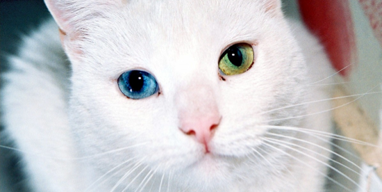 Cat with different eye colors